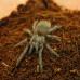 Tarantula - Brazilian Blue (Pterinopelma sazimai)