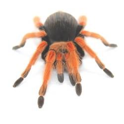 Tarantula - Mexican Fire Leg (Brachypelma boehmei)