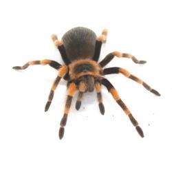 Tarantula - Mexican Red Knee (Brachypelma hamorii) LARGE FEMALE