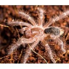 Tarantula - Chaco Golden Knee (Grammostola pulchripes) - LARGE