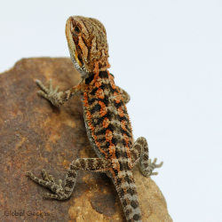 Bearded Dragon (Red)