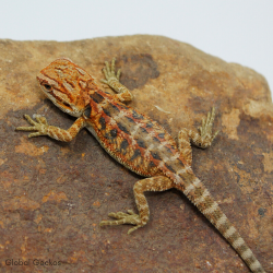 Bearded Dragon (Red Tiger)