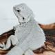Bearded Dragon (Hypo Zero)