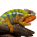 Panther Chameleon (Sambava) MALE