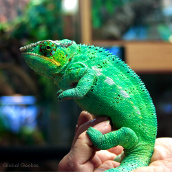 Panther Chameleon (Nose Be) BIG MALE