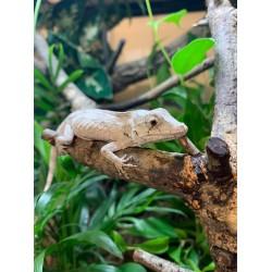 Dimorphic False Chameleon (Pair)