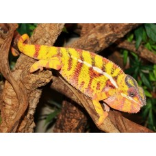 Panther Chameleon (Nose Mitseo) MALE