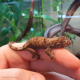 Mossy Gecko (Unsexed)