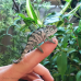 Panther Chameleon (Nose Be) - MALE