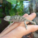 Panther Chameleon (Nose Faly) - MALE