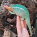 Panther Chameleon (Nose Mitseo) - MALE