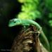Green Keel Bellied Lizard (Pair)
