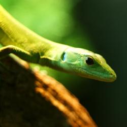 Green Keel Bellied Lizard