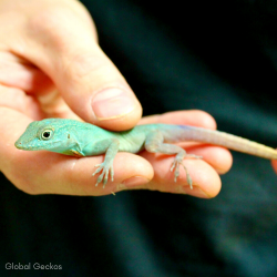 Turquoise Anole