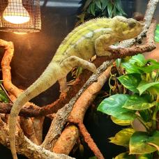 Panther Chameleon (Sambava) - MALE