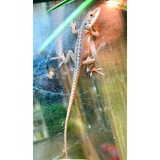 Green Anole (Proven Breeding Group)