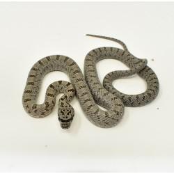 Baird's Rat Snake - Male