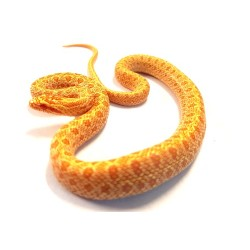 Diones Rat Snake (Albino)