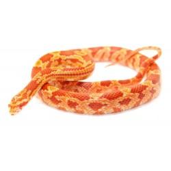 Corn Snake (Amelanistic)