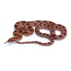 Corn Snake (Carolina)