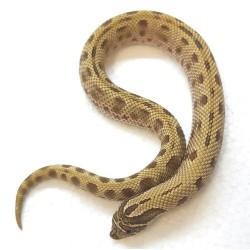 Western Hognose (Anaconda)