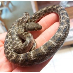 Madagascan Cat Eyed Snake