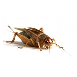 Brown Crickets (Standard) (Sack of 500)