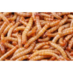 Mealworms (Standard)