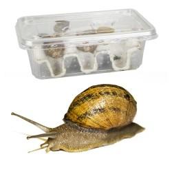 Snails - Select Size