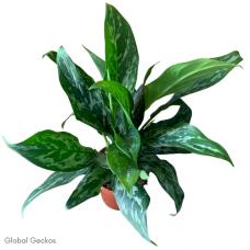 Aglaonema Green Lady (Chinese Evergreen)