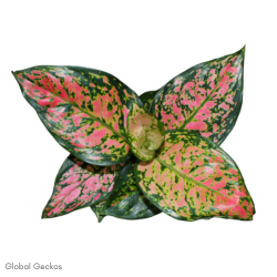 Aglaonema Star Collection - Pink Dalmatian (Chinese Evergreen)