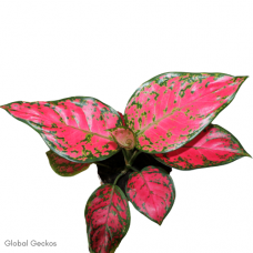 Aglaonema Star Collection - Pink Gem (Chinese Evergreen)
