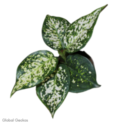 Aglaonema Star Collection - White Star (Chinese Evergreen)