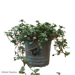 Pilea glaucophylla (Artillery Plant) - Medium