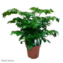 Radermachera sinica (Asian Bell Tree) S