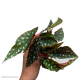 Begonia maculata (Trout Begonia) S