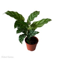 Calathea Concinna 'Freddie' (Prayer Plant)