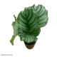 Calathea sp. (Peacock)