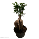 Ficus retusa 'Ginseng' (Ginseng Bonsai Fig) Medium