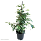 Ficus Twilight (Weeping Fig) L