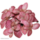 Fittonia Bubble Pink (Mosaic Plant) S