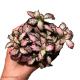 Fittonia Frankie (Mosaic Plant) S