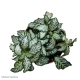 Fittonia Lace Leaf (Mosaic Plant) S