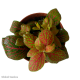 Fittonia Pink Ruby Lime (Mosaic Plant) S