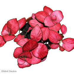 Fittonia Red Cloud (Mosaic Plant) S
