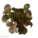 Fittonia Red Diamond (Mosaic Plant) S