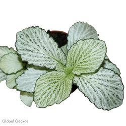 Fittonia White Anne (Mosaic Plant) S