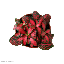 Fittonia Forest Flame (Mosaic Plant) S