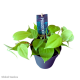 """Philodendron s. """"micans"""" (Lime)"""