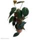"Philodendron s. ""micans"" (Bronze Velvet Vine) Moss Pole"
